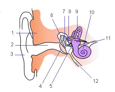 耳の器官の名称